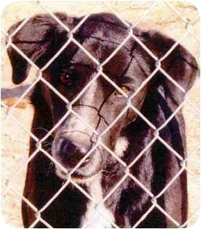 Retriever (Unknown Type)/Border Collie Mix Dog for adoption in Marina del Rey, California - Jimmy