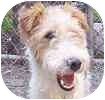 Wirehaired Fox Terrier Dog for adoption in Hamilton, Ontario - Teddy