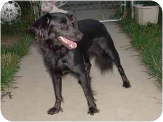 Cocker Spaniel/Pomeranian Mix Dog for adoption in Coal City, West Virginia - Miss Cassie