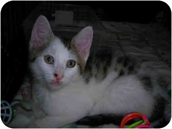 Domestic Shorthair Kitten for adoption in Riverside, Rhode Island - Joshua