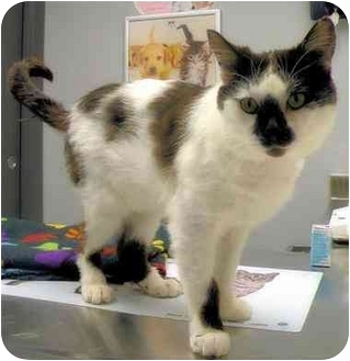 Domestic Shorthair Cat for adoption in Edmonton, Alberta - Maxwell
