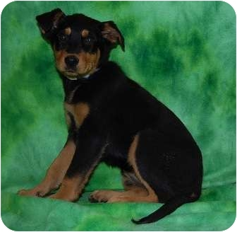 Doberman Pinscher/Shepherd (Unknown Type) Mix Puppy for adoption in Broomfield, Colorado - Bubbles