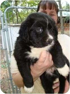 Labrador Retriever/Boxer Mix Puppy for adoption in Spring Valley, New York - Teddy B