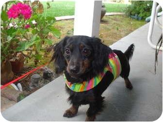 Dachshund Puppy for adoption in San Jose, California - Duncan