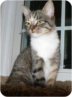 Domestic Shorthair Cat for adoption in Hendersonville, Tennessee - Annabelle