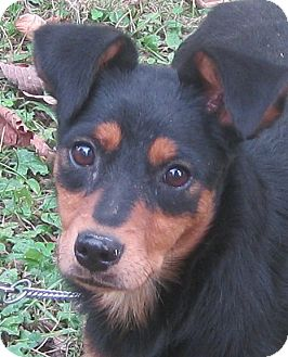 Miniature Pinscher/Rat Terrier Mix Dog for adoption in Hillsboro, Ohio - Louise