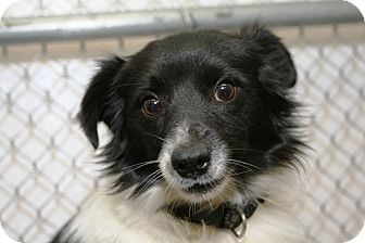 Papillon Mix Dog for adoption in Kalamazoo, Michigan - Benny
