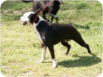 Boston Terrier Dog for adoption in Greenville, Alabama - Bud