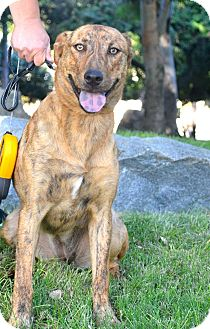 Rhodesian Ridgeback/Labrador Retriever Mix Dog for adoption in San Diego, California - Bengala