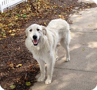 Great Pyrenees Dog for adoption in Bloomington, Illinois - Livee ADOPTED
