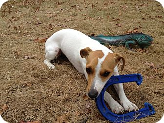Jack Russell Terrier Dog for adoption in New York, New York - Jack Russell Needs New Home
