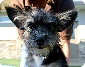 Terrier (Unknown Type, Small) Mix Puppy for adoption in white settlment, Texas - Rufus