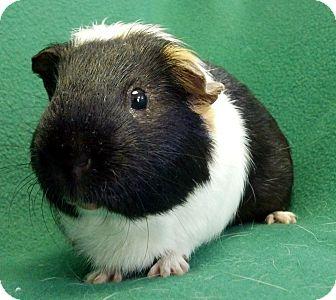 Guinea Pig for adoption in Lewisville, Texas - Wyatt