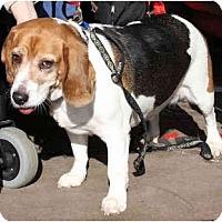 Adopt A Pet :: Tuffy - Portland, OR