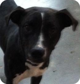 Labrador Retriever/Boxer Mix Dog for adoption in Henderson, Kentucky - TIMMY