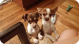 Chihuahua Dog for adoption in Chicago, Illinois - Brandy and Bourbon