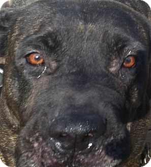 Cane Corso Mix Dog for adoption in Mountain Lakes, New Jersey - Brandy