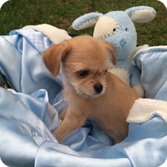 Chihuahua/Terrier (Unknown Type, Small) Mix Puppy for adoption in Rock Hill, South Carolina - Marshall
