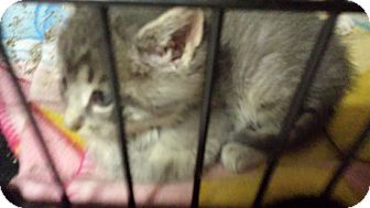 American Shorthair Kitten for adoption in Forest Hills, New York - Sundance