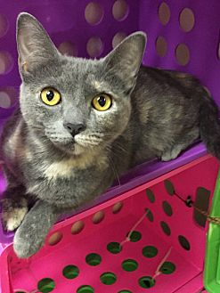 Domestic Shorthair Cat for adoption in Jackson, Tennessee - Nila Grace