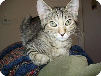Ocicat Kitten for adoption in Austin, Colorado - Sunset