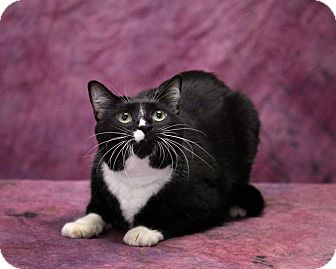 Domestic Shorthair Cat for adoption in Harrisonburg, Virginia - Socks
