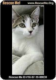 Domestic Shorthair Kitten for adoption in Waldorf, Maryland - Skipurr