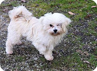 Maltese Mix Dog for adoption in Hazard, Kentucky - Bessie