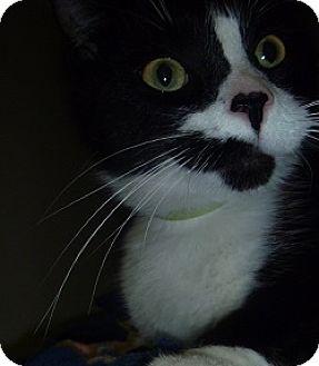 Domestic Shorthair Cat for adoption in Hamburg, New York - Sweet Pea