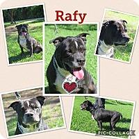 Adopt A Pet :: Rafi - hollywood, FL