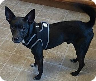 Chihuahua Mix Puppy for adoption in North Brunswick, New Jersey - Cain