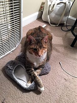 Domestic Shorthair Cat for adoption in Athens, Georgia - Cheddar