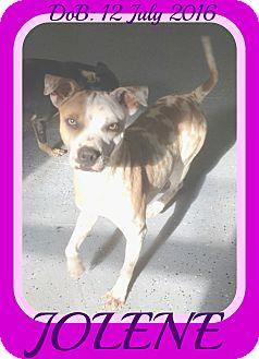 Boxer/Shar Pei Mix Dog for adoption in Manchester, New Hampshire - JOLENE
