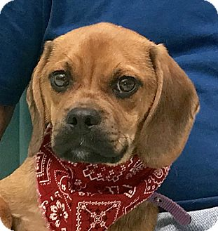 Beagle Mix Puppy for adoption in Evansville, Indiana - Scrappy