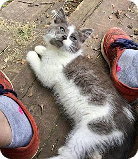 Domestic Mediumhair Kitten for adoption in St. Louis Park, Minnesota - Oy