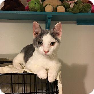 Domestic Shorthair Kitten for adoption in Marietta, Georgia - Mulcahy