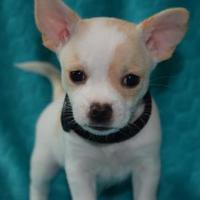 Adopt A Pet :: Gibbs - Santa Fe, TX
