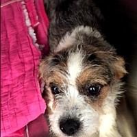 Adopt A Pet :: Darla - Rancho Cucamonga, CA