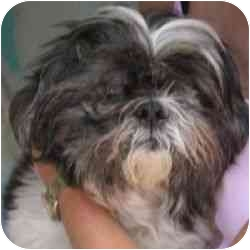 Lhasa Apso Dog for adoption in Berkeley, California - Bandit
