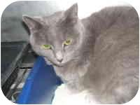 Domestic Shorthair Cat for adoption in Tipton, Iowa - Ariel