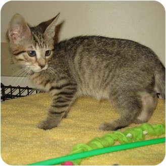 Domestic Shorthair Kitten for adoption in Hamilton, New Jersey - GUS