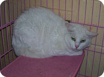 Domestic Shorthair Cat for adoption in Somerset, Pennsylvania - Snowflake