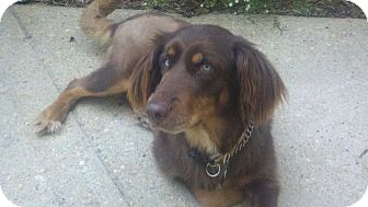 Golden Retriever/Labrador Retriever Mix Dog for adoption in New Canaan, Connecticut - Layla