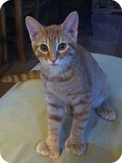 Domestic Shorthair Cat for adoption in Las Vegas, Nevada - Oriel