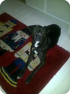 American Pit Bull Terrier/Labrador Retriever Mix Dog for adoption in Medina, Ohio - Nicky