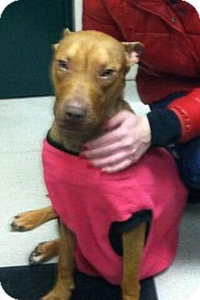 Pit Bull Terrier/Pharaoh Hound Mix Dog for adoption in Oak Ridge, New Jersey - Ginger- URGENT