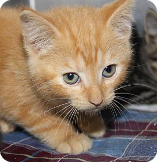 Domestic Shorthair Kitten for adoption in Orland Park, Illinois - Peter Pan