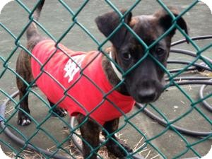 Dachshund Mix Puppy for adoption in Marlton, New Jersey - Sweet baby Tank