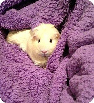 Guinea Pig for adoption in Fullerton, California - Darla (OCCH)