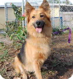 Border Collie/Shepherd (Unknown Type) Mix Dog for adoption in Bradenton, Florida - Mika